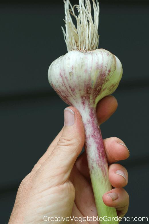récolte et séchage de l'ail