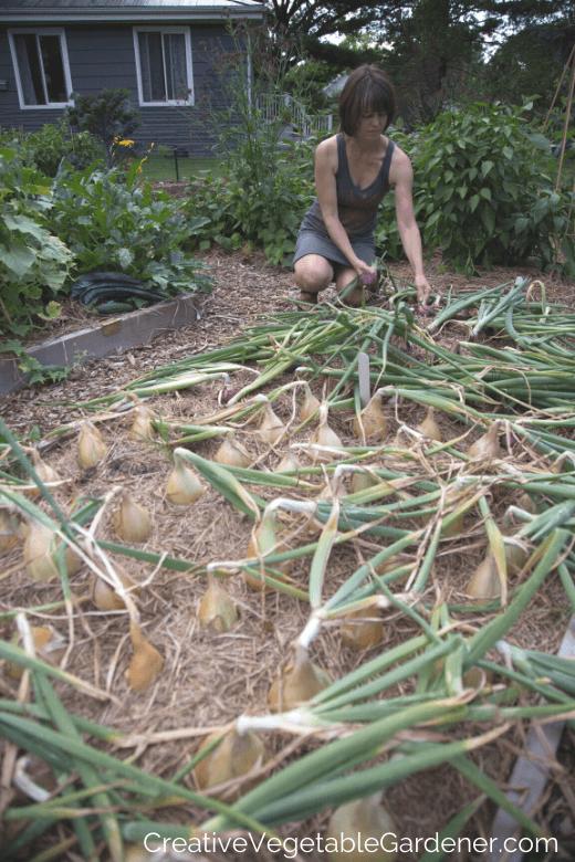 temps de récolte d'oignons dans le jardin