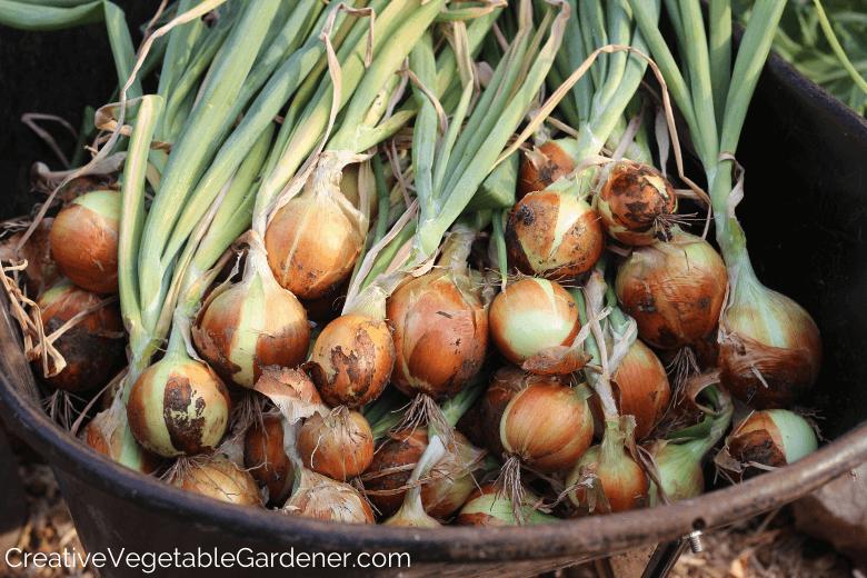 Jardinier de légumes créatif:Stocker vos oignons du jardin pour l'hiver