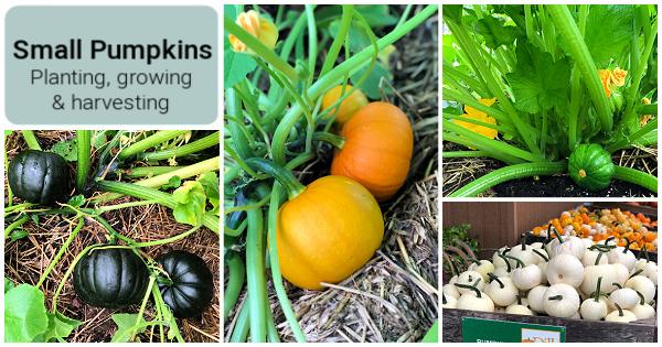Comment planter, cultiver et récolter des citrouilles de la taille d'une pinte