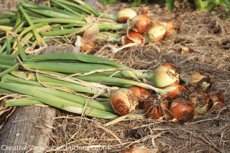 comment conserver les oignons du potager