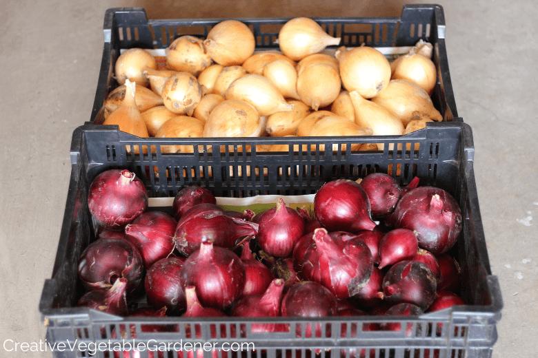 conserver les oignons du jardin pour l'hiver