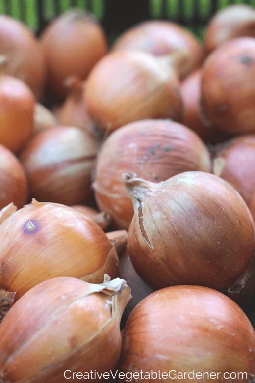comment conserver les oignons du jardin