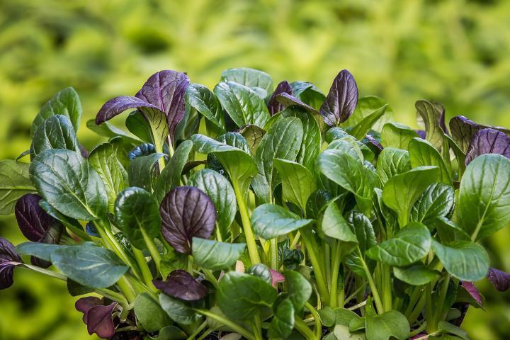 Types de légumes verts asiatiques: à croissance rapide pour l'automne!