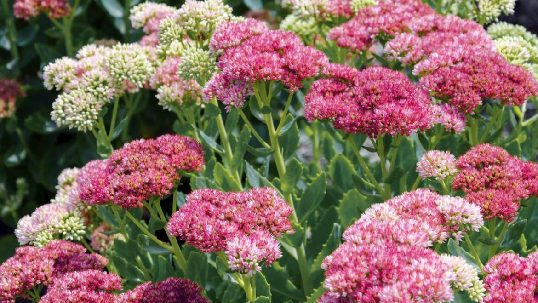 Sedum (Stonecrop): Comment planter, cultiver et entretenir les plantes Sedum