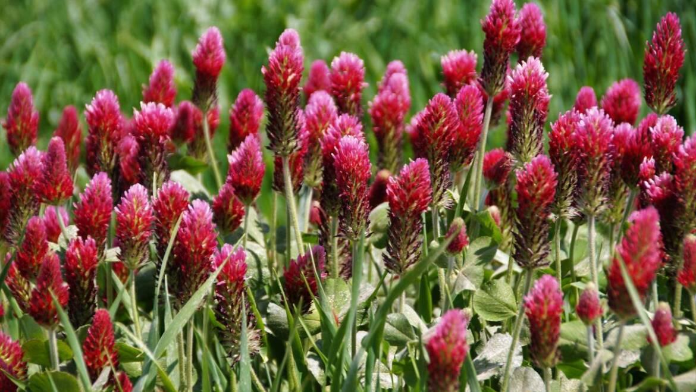 Planter des cultures de couverture dans les jardins familiaux : Guide régional