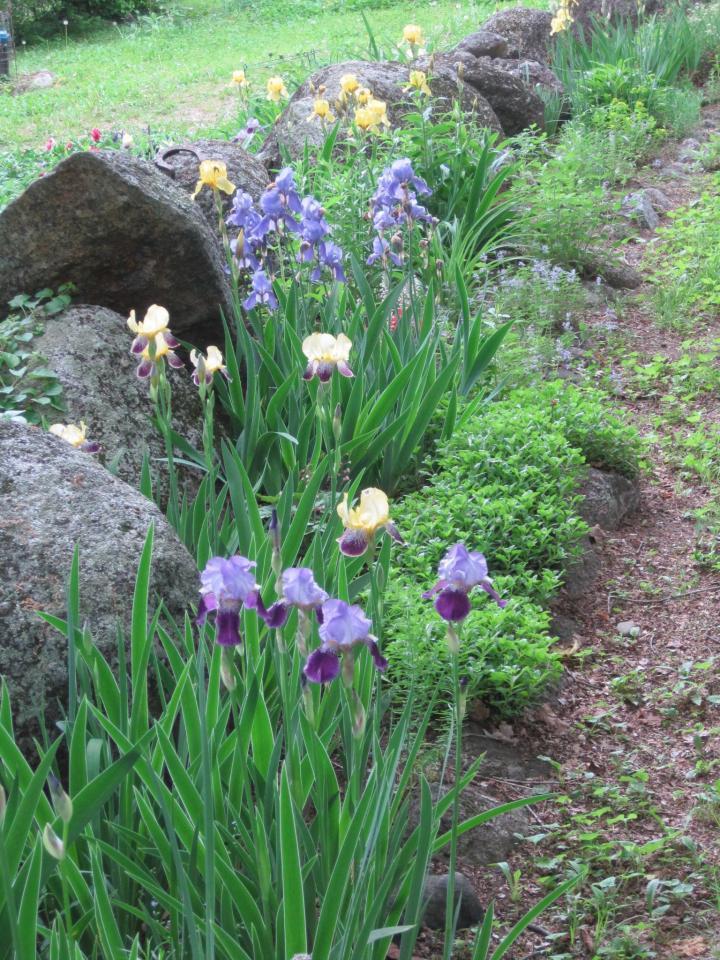 Comment diviser les iris barbus – avec des images