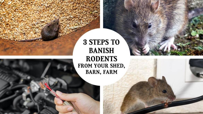 3 étapes pour bannir les rats et les souris de votre hangar, grange et ferme