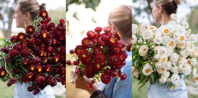 Fleurs de paille rouges et blanches