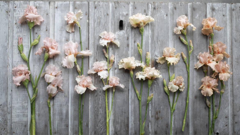 Cadeau d'iris barbu – Fleurs de fleurette