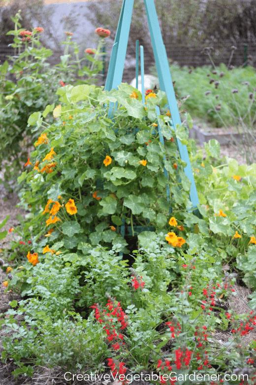 coriandre en lit de jardin avec fleurs et treillis