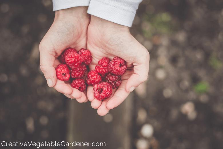 mains tenant des framboises de jardin