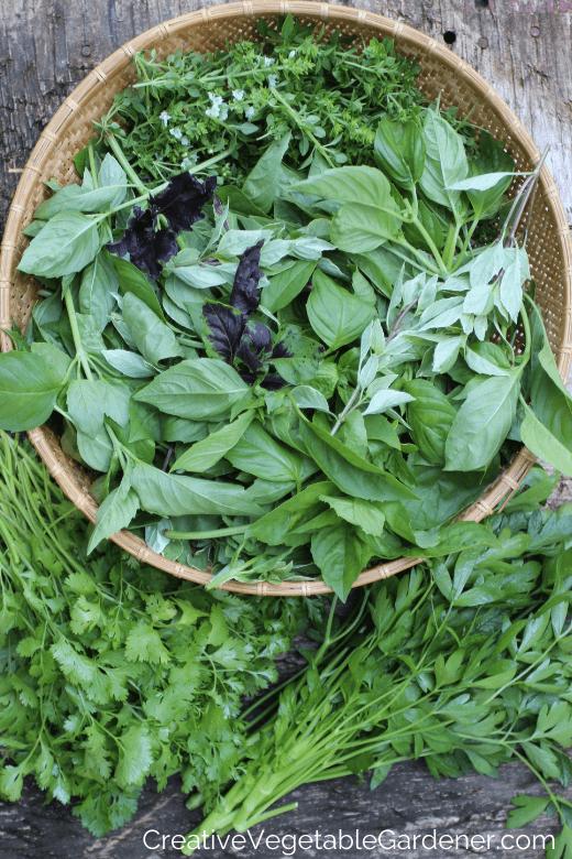 récolte d'herbes fraîches du jardin