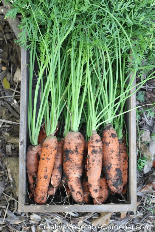 carottes fraîchement creusées pour l'hivernage