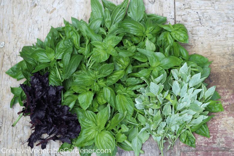 Jardinier Potager Créatif:Meilleures façons de préserver la récolte de basilic d'été