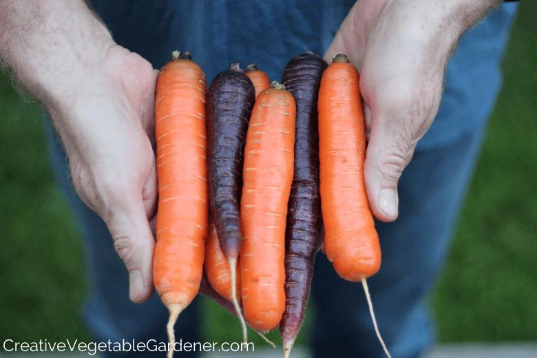 homme tenant des carottes fraîches du jardin