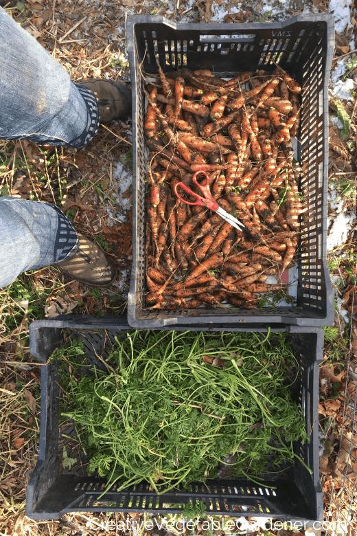 préparer les carottes à conserver pour l'hiver