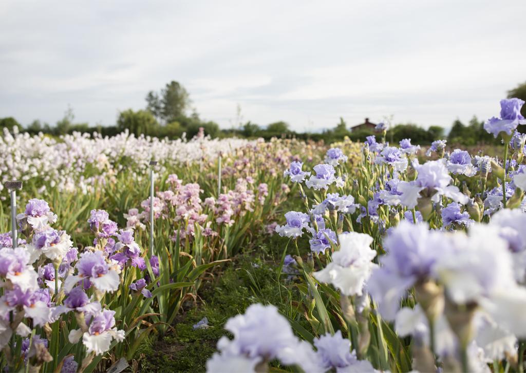 Iris poussant dans le champ de Floret