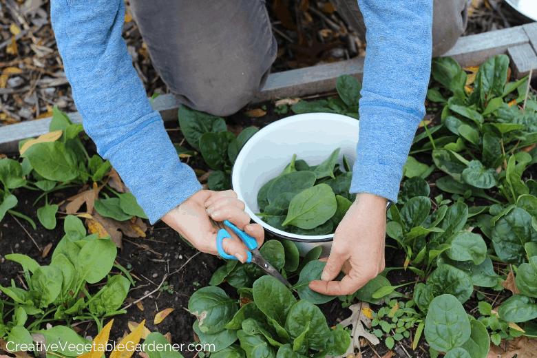 récolte d'épinards dans le jardin d'automne