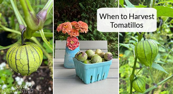 Quand récolter les tomatilles du jardin pour la meilleure saveur