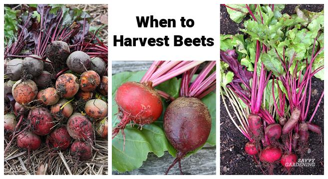 Quand récolter les betteraves d'un jardin potager pour une consommation fraîche ou un stockage