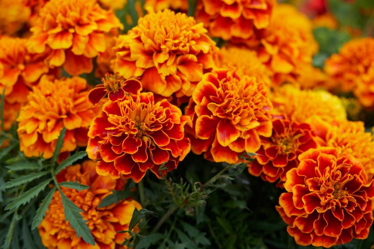 Fleurs de naissance d'octobre : souci et cosmos