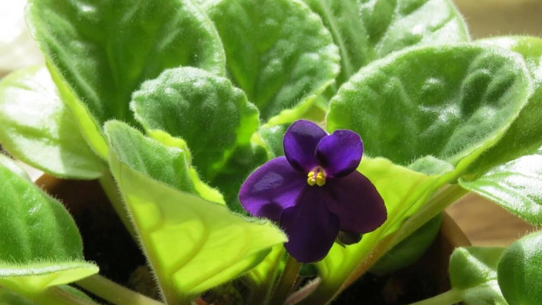Comment faire pousser et prendre soin des violettes africaines