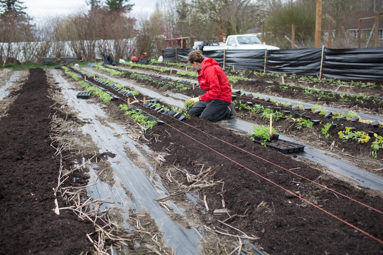 Erin Benzakein plantant des rangées de pois de senteur