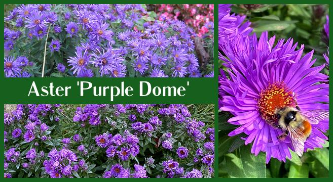 Une vivace à floraison automnale pour votre jardin