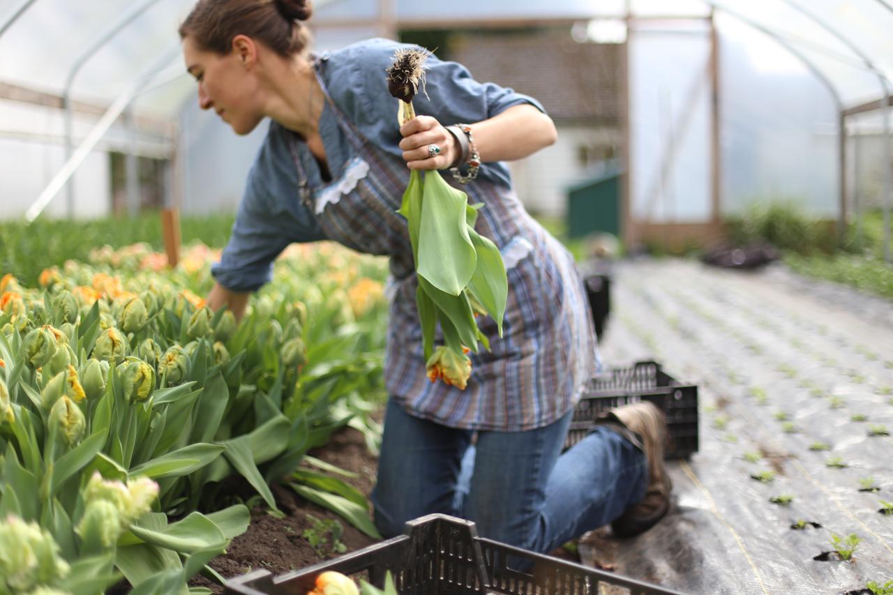 Erin Benzakein récolte des tulipes dans la serre