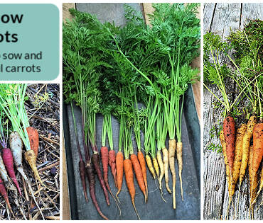 Rainbow-carrots-FB.jpeg