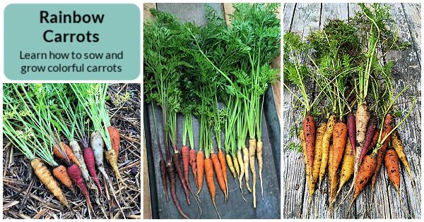 Les meilleures variétés rouges, violettes, jaunes et blanches à cultiver