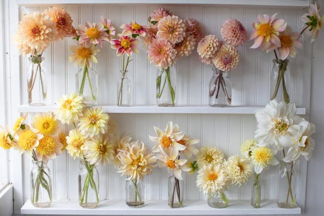 Étagères de dahlias de Floret dans l'atelier