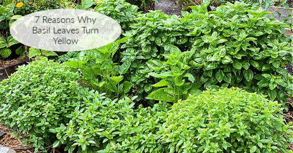 7 raisons pour lesquelles les feuilles de basilic peuvent jaunir