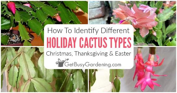 Cactus de Noël, Thanksgiving et Pâques: quelle est la différence?